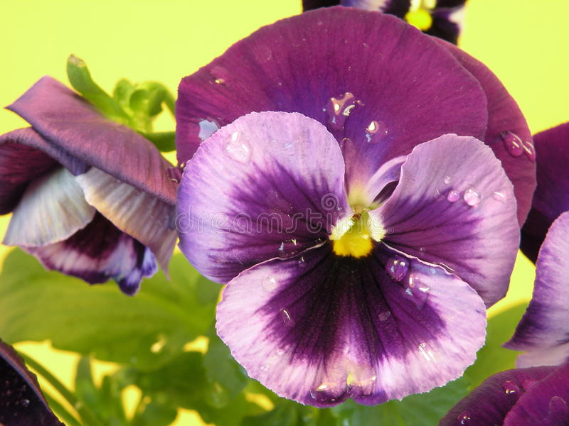 Purper viooltje stock fotografie