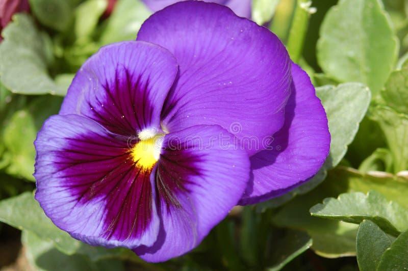 Purper viooltje stock afbeeldingen
