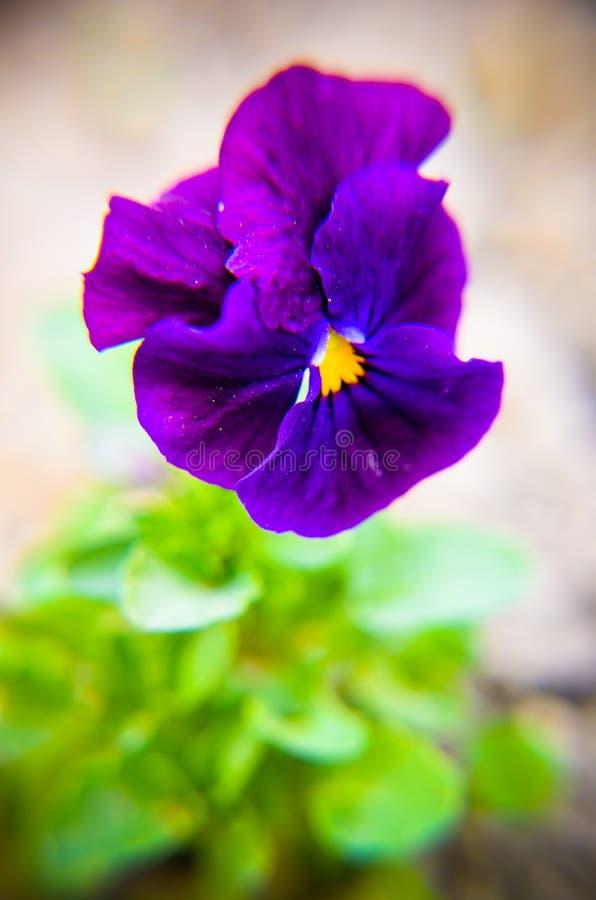 Purper viooltje in tuinen die bloem purper viooltje glimlachen royalty-vrije stock afbeeldingen