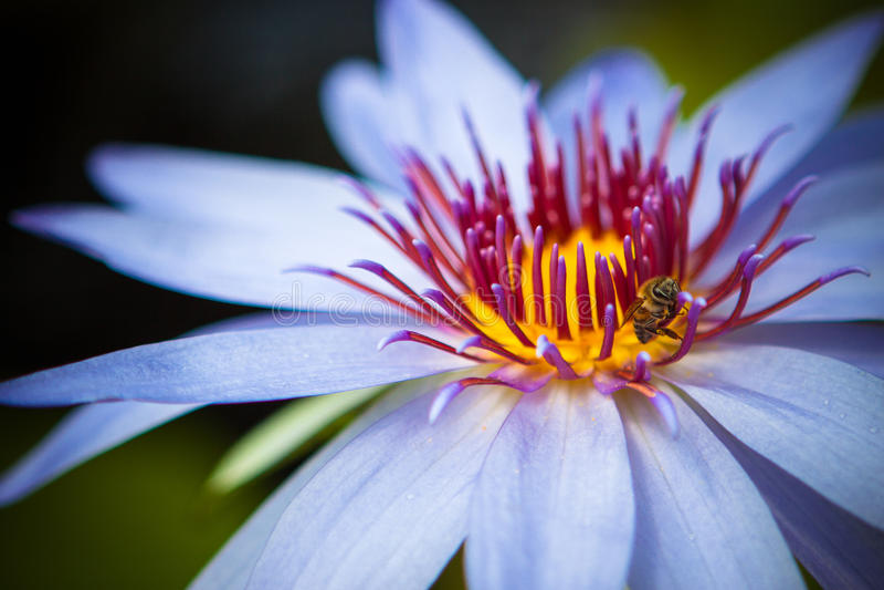 Purper water lilly met bij royalty-vrije stock fotografie