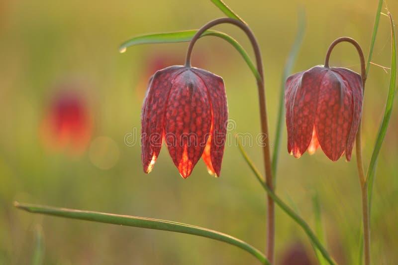 Purper-witte bloem royalty-vrije stock foto's