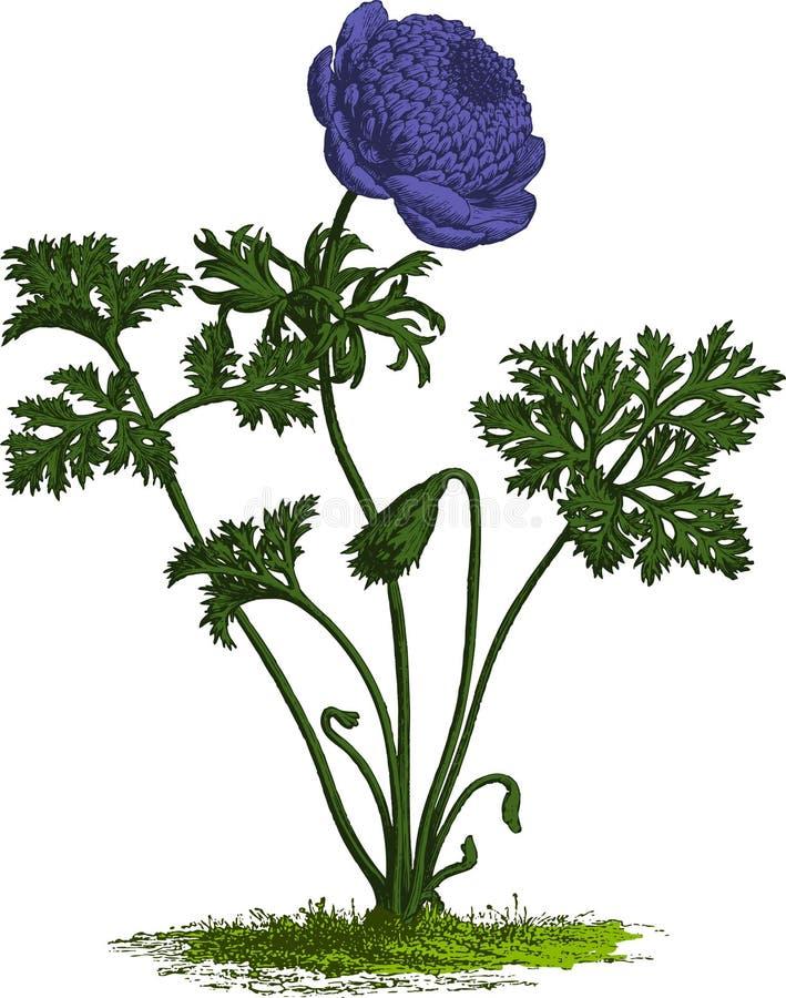 Purpere anemoonbloem. Vector stock illustratie