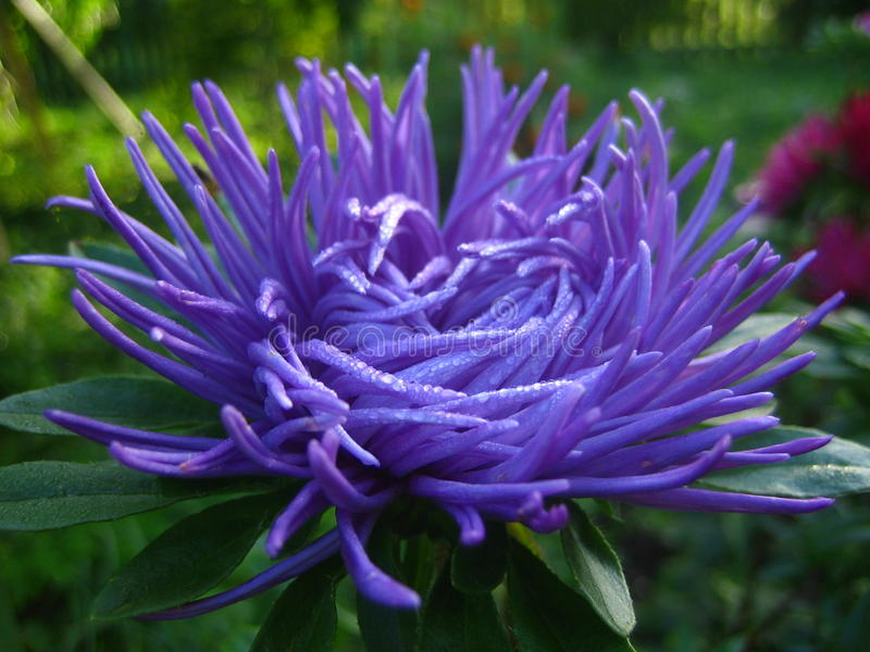 Purpere aster stock foto's
