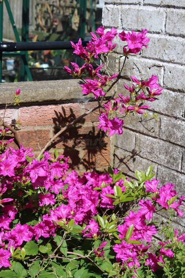 Purpere azalea in bloei in de lente royalty-vrije stock afbeelding