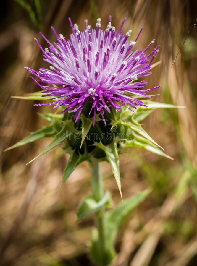 Purpere bloeiende bloem in landschap stock foto