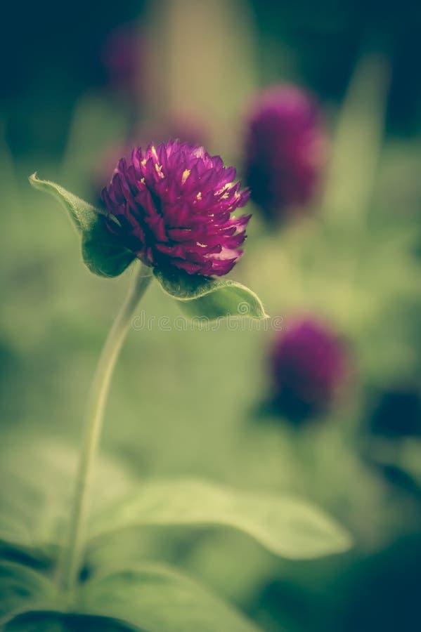 purpere bloeiende bloemen stock afbeelding