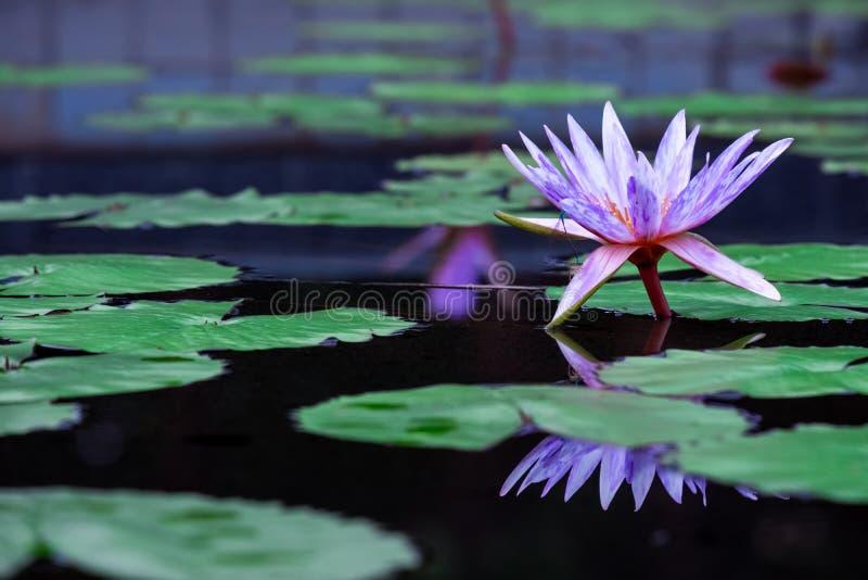 Purpere bloeiende waterlelie stock fotografie