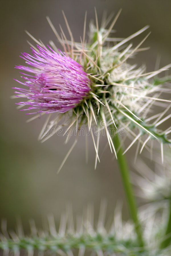 Download Purpere Bloem 3 Van De Distel Stock Afbeelding - Afbeelding bestaande uit doornen, bloemen: 41269