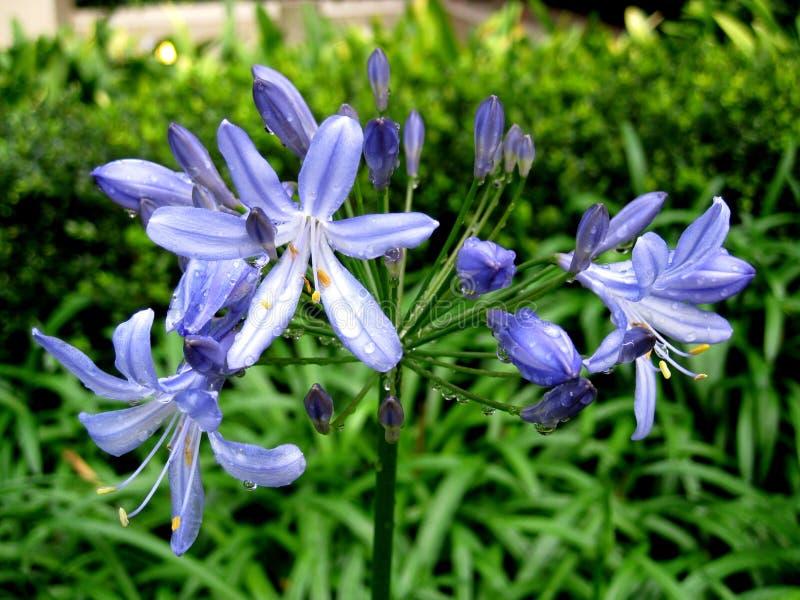 Purpere bloem stock afbeelding