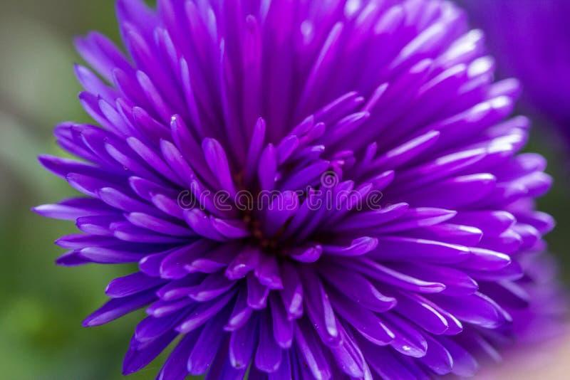 Purpere bloem royalty-vrije stock afbeelding