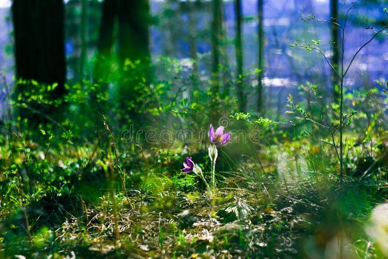 Purpere bloem in het de lentebos in de zon stock fotografie