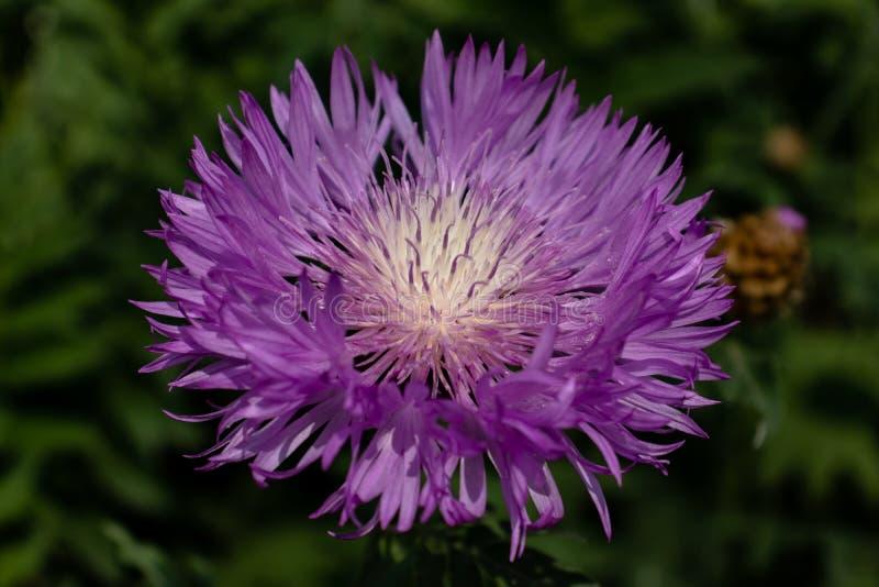 Purpere bloem met bladeren royalty-vrije stock fotografie