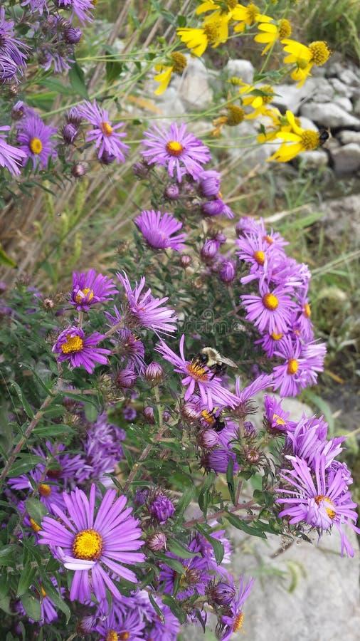 Purpere bloem met geel centrum in Illinois stock afbeeldingen
