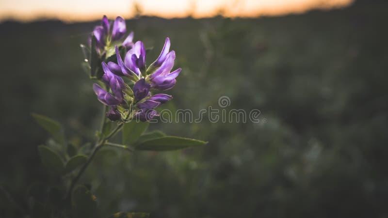 Purpere Bloem op een Gebied bij dageraad stock afbeeldingen