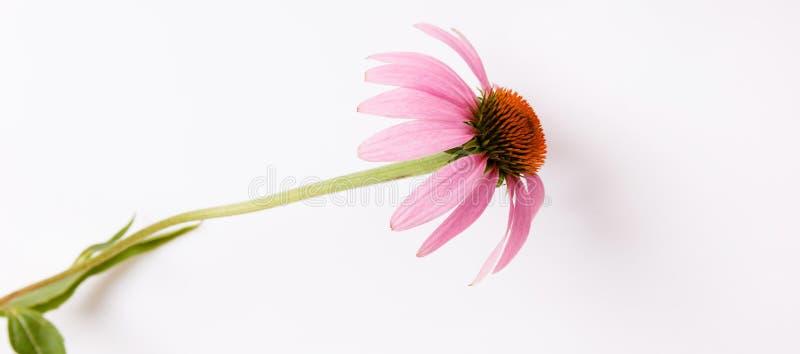 Purpere bloem op een witte achtergrond, banner Echinaceabloem Echinacea Purpurea royalty-vrije stock afbeeldingen