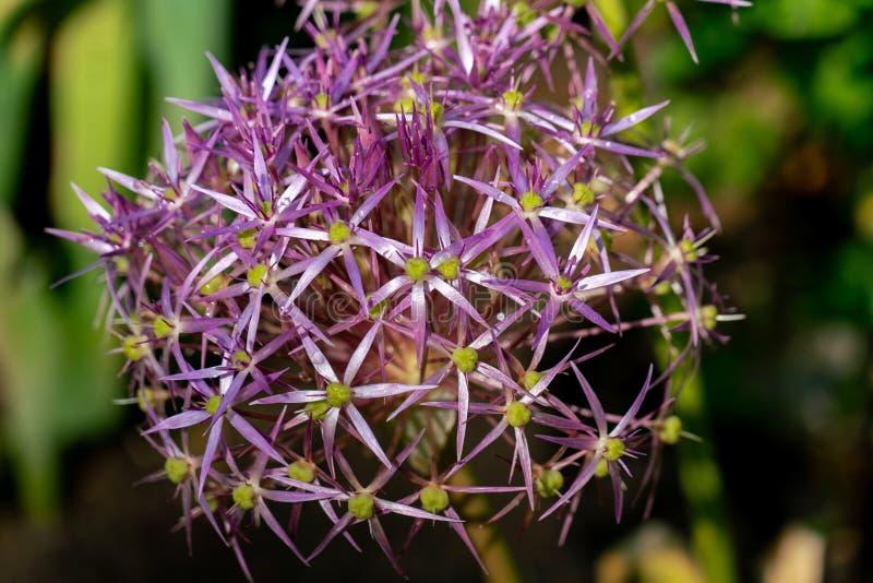 Purpere bloembal van een reuze de uiinstallatie van Alliumgiganteum royalty-vrije stock afbeelding