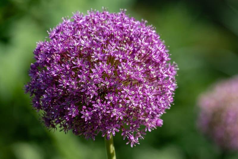 Purpere bloembal van een reuze de uiinstallatie van Alliumgiganteum royalty-vrije stock afbeeldingen