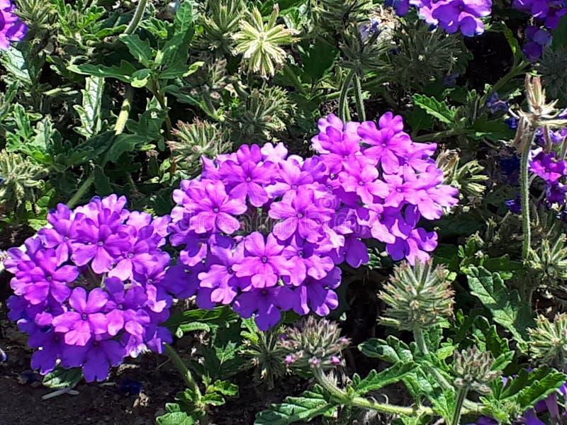 Purpere bloemen royalty-vrije stock fotografie