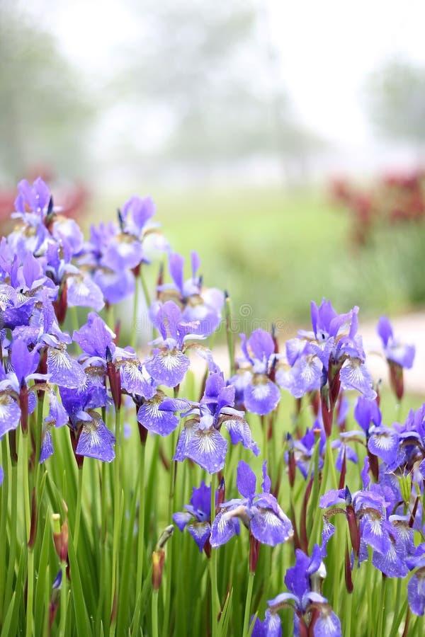 Purpere Bloemen in de Tuin stock fotografie