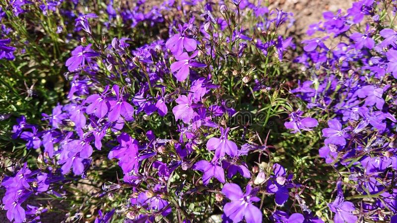 Purpere bloemen in de zomertijd royalty-vrije stock afbeeldingen