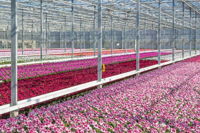Purpere bloemen in een serre stock afbeelding