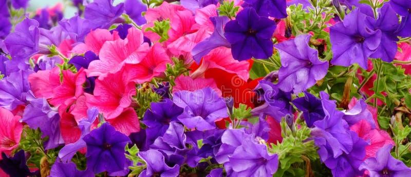 Purpere Bloemen in Ierland stock afbeeldingen