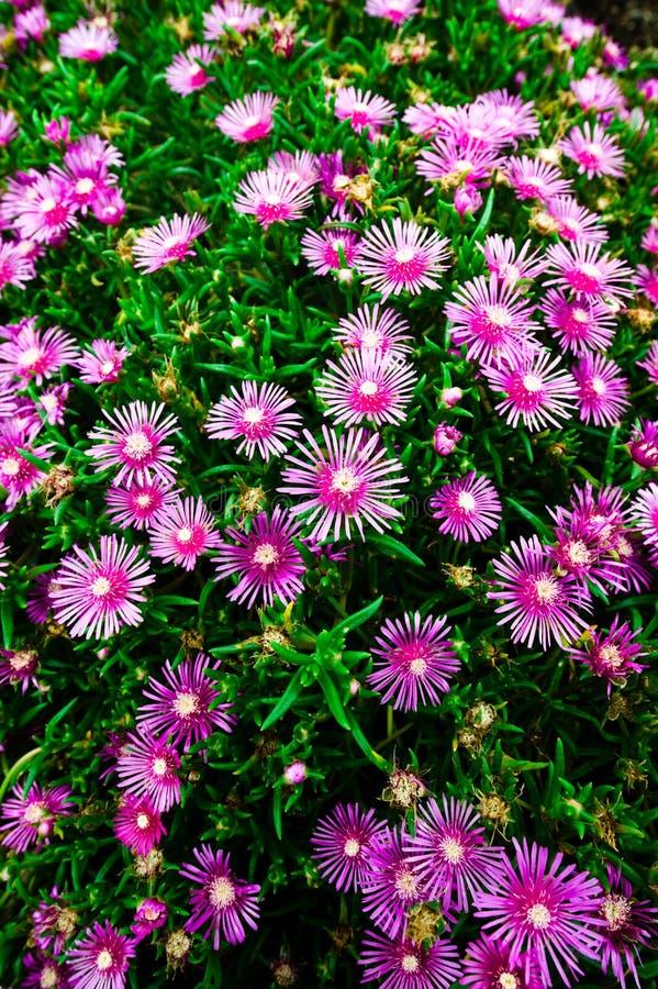 Purpere bloemen in Japan royalty-vrije stock foto's