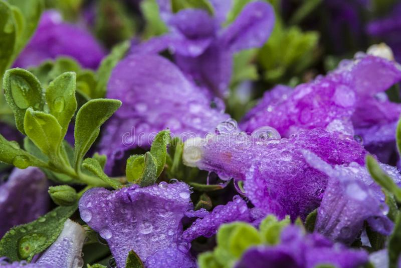 Purpere bloemen met dalingen van water stock foto's
