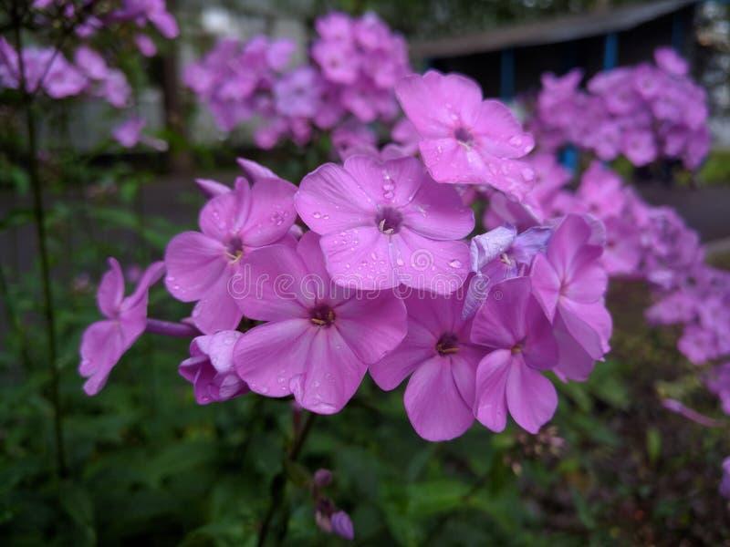 Purpere bloemen met regendruppels in de zomer stock fotografie