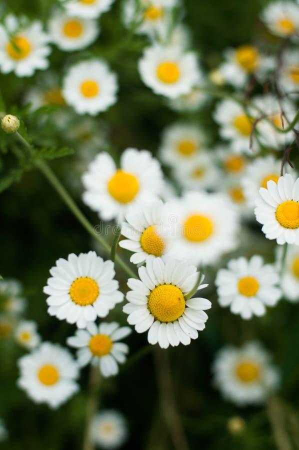 Purpere bloemen, mooi kamillegras, stock fotografie
