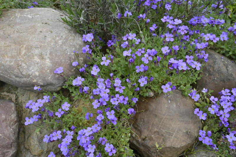 Purpere bloemen in rockery royalty-vrije stock afbeelding