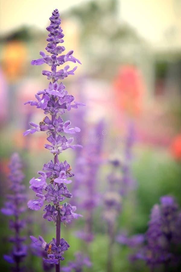 Purpere bloemen in tuin stock foto's