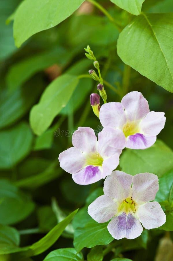 purpere bloemen in tuin (Justicia Gangetica) royalty-vrije stock foto's