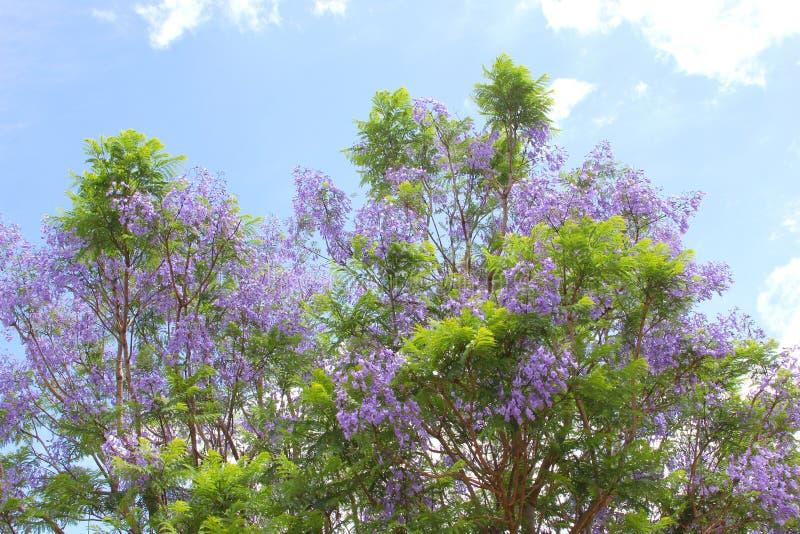 Purpere bloemen van een bloeiende Jacaranda-boom in een blauwe hemel stock fotografie