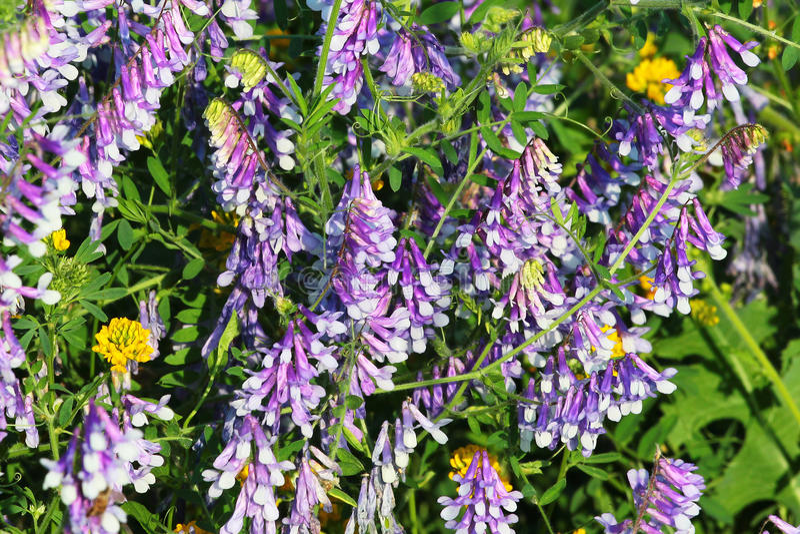 Purpere bloemen van tufted wikke (Vicia cracca) royalty-vrije stock afbeeldingen