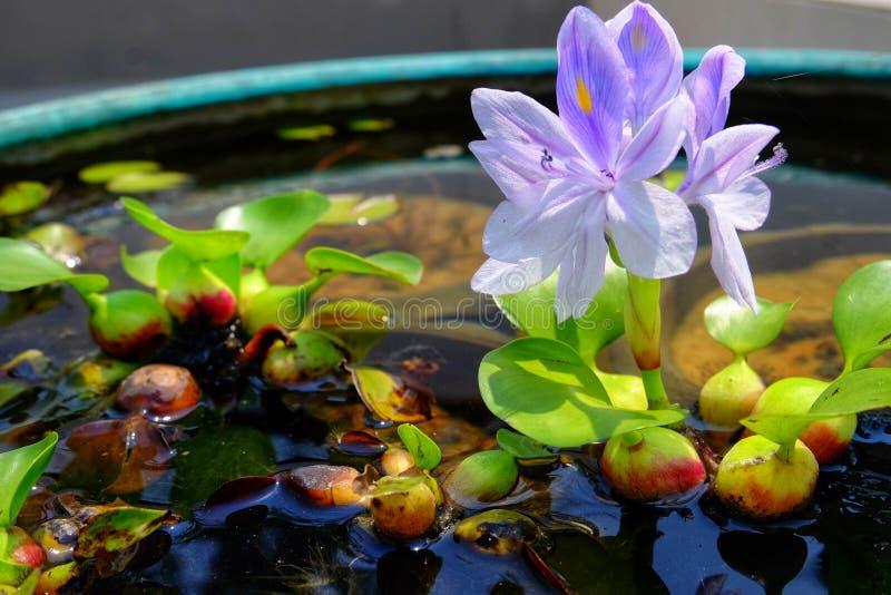 Purpere bloemen van waterhyacint in het groene bad, Eichhornia-Cr royalty-vrije stock afbeelding