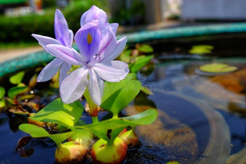 Purpere bloemen van waterhyacint in het groene bad, Eichhornia-Cr stock foto