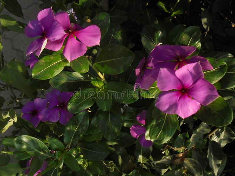 Purpere bloeminstallatie stock foto's