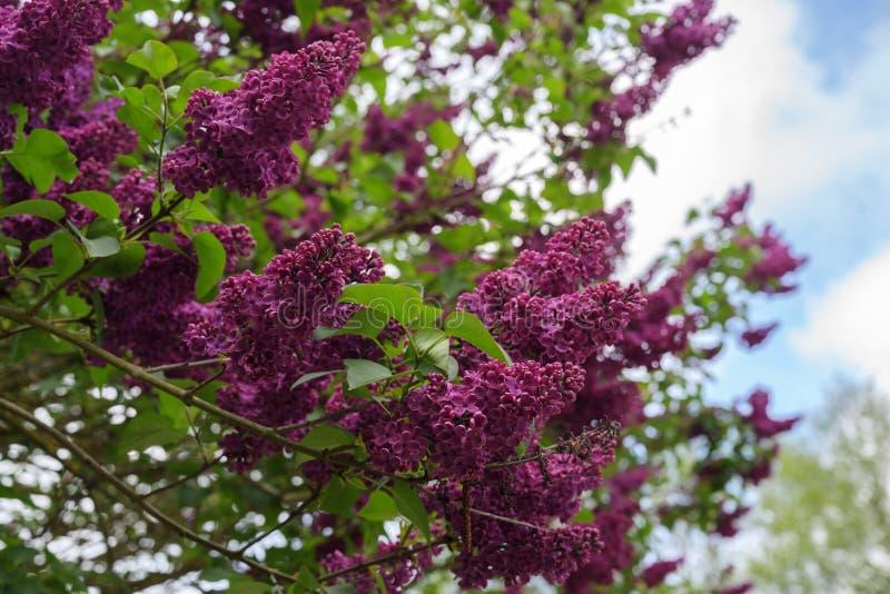 Purpere bloemtakken van een sering of syringa vulgaris struik in de lente, exemplaarruimte royalty-vrije stock afbeeldingen