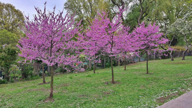 Purpere bomen royalty-vrije stock fotografie