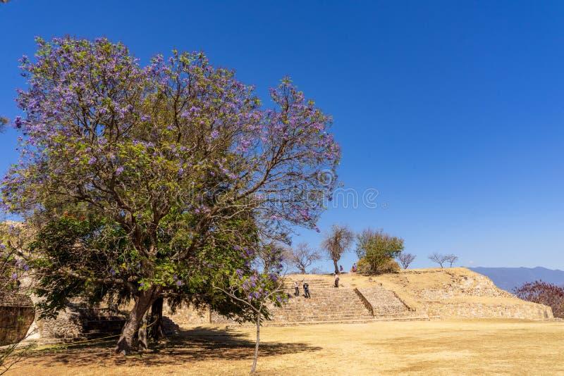 Purpere boom op Zapotec-ruïnes bij Monte Alban-plaats, Mexico stock fotografie
