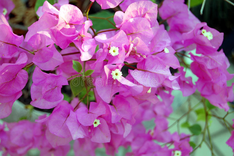 Purpere Bouganvillia stock foto