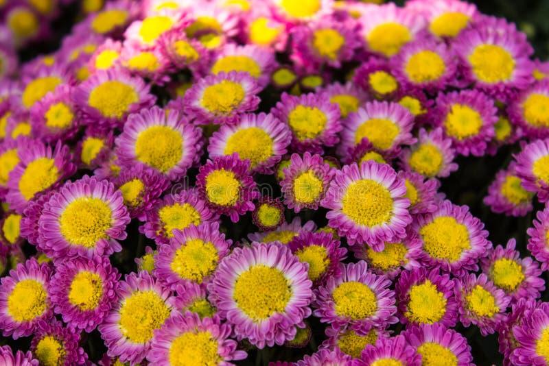 Purpere chrysant stock fotografie