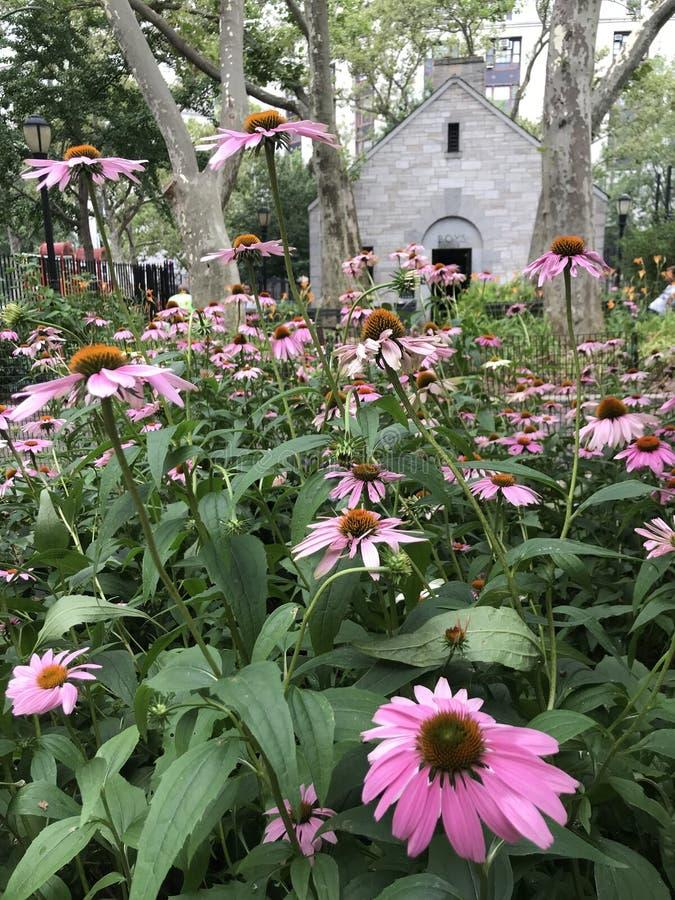 Purpere coneflowers lange bloemen in de stad van New York stock fotografie