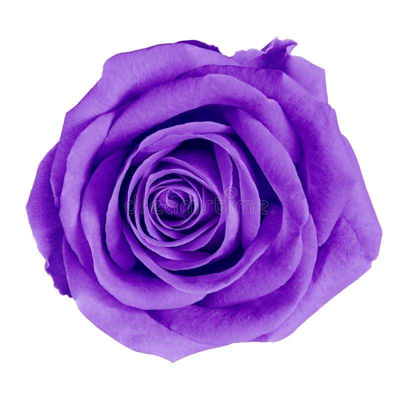 Purpere de bloem nam geïsoleerd op witte achtergrond met het knippen van weg toe Close-up royalty-vrije stock foto