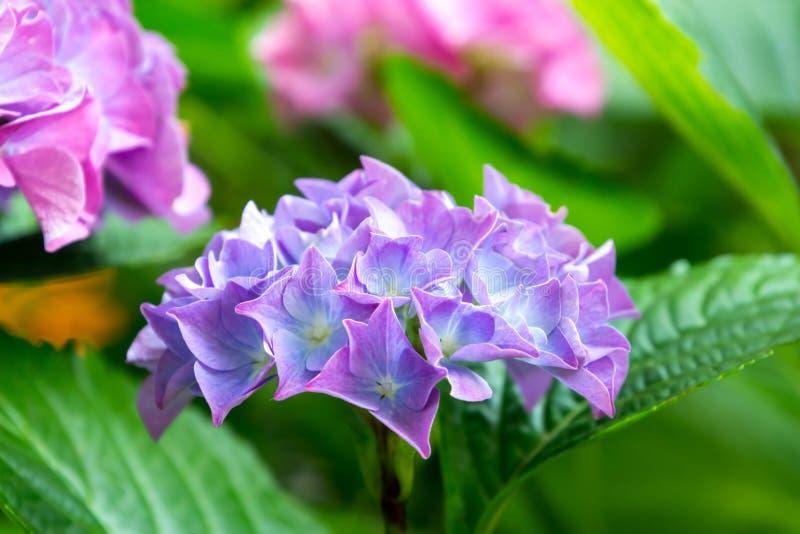 Purpere de Hydrangea hortensiamacrophylla van de Hydrangea hortensiabloem in een tuin royalty-vrije stock foto's