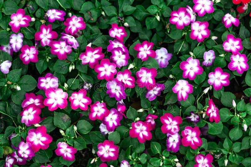 Purpere die bloem op witte achtergrond wordt geïsoleerd stock afbeelding