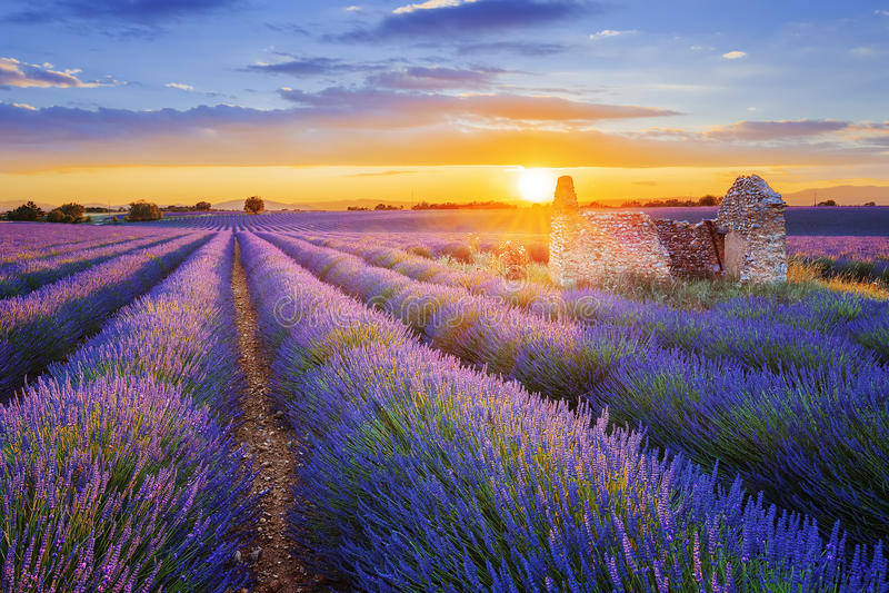Purpere die lavendel in Valensole bij zonsondergang wordt ingediend stock afbeeldingen