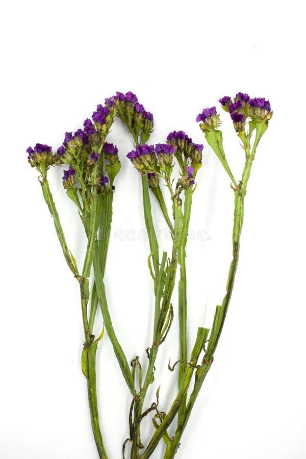 Purpere die Linonium, algemeen als wavyleaf overzeese lavendel, statice, overzeese lavendel, het moerasrozemarijn van het inkepin stock fotografie