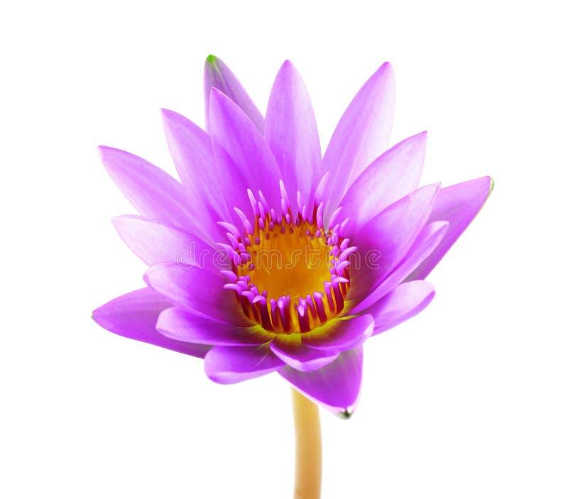 Purpere die lotusbloembloem op witte achtergrond wordt geïsoleerd Mooie lotu stock afbeelding